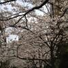 2013年の桜:オフィス、太尾新道、呑川緑道、目黒川