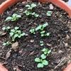 ラディッシュ、ミニトマト、ニンジンが続々と発芽