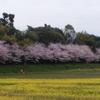 🌸桜🌸満開🌸