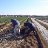 援農ではネギの収穫が続きます。