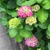 (紹介:植物)新宿区大久保で見かけたあじさいの花いろ色を紹介するよ