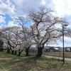 多摩川桜百景 -34. 浅川河川広場周辺-