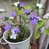 雨の気配とニオイバンマツリ(匂蕃茉莉)の花