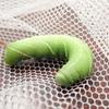 大きな緑の幼虫 お尻が針状ならスズメガの仲間かも(クチバスズメ)