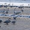 白鳥がたくさん越冬している田んぼ