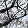 全国で最も早く開花宣言しました縮景園のソメイヨシノ、早速見に行きましたよ。