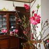 桃の花と舌下錠と。