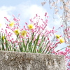 山梨県・身延山の西谷桜が可愛かった♪