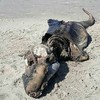 英ウェールズの海岸に奇妙な生物死骸