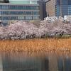 出張より朝帰り 桜満開  夜はペダリングモニター講習会