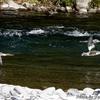 日本 水面を飛ぶカワアイサ