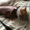 猫の避妊手術後に起きたこと7選【実体験】