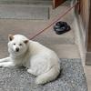 宗忠神社のコロ、白い柴犬。