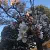 桜🌸お花見