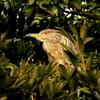 木の上のゴイサギ幼鳥(ホシゴイ)ー手賀沼にて