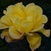2013/12/23 久しぶりにバラの話題(^_^;) リオサンバと讃美が美しく咲いていた