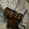 エギングで釣れたアオリイカの保存法