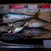 冬の兵庫突堤で尺サバと27cmのアジ4尾を釣りました