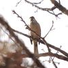 ジィちゃんと探鳥、大麻生公園・ひろせ野鳥の森のシロハラ他/2020-12-24