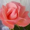 朝摘みの薔薇