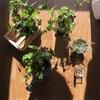 クロッカスの水栽培。