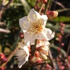 花ウメの花