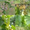 6月の果樹