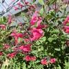 チェリーセージの花です