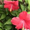 いろいろ開花!(ハイビスカス、ハブランサス、カンナ、タンジン、チョウマメ、コバルトセージ、キンギョソウ、ガーベラ)