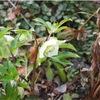 春咲きクリスマスローズ(地植え)咲く