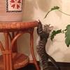 【予言】50年生きる猫 虎太郎【ギネスまっしぐら】