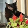 猫にも安全な花『ケイトウ(鶏頭)』を飾りました