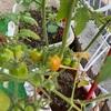 【家庭菜園】緑が育っている!