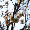 梅の花さく山手線