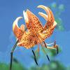 今日の誕生花「オニユリ」真っ赤な花の山野草!季節を感じる花!