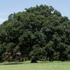 樹形みごと&木陰心地よい野川公園のエノキ