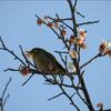 梅が咲きました(3)~地域振興のためのスマホ写真活用(12)