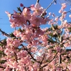 一足お先に桜⁉︎ 薄紅色と青空が美しい♪