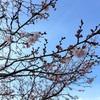 冬(の)桜