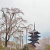 東寺の桜2018。見頃や開花状況。ライトアップあり。