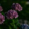 北九州市高塔山で枯れ始めの紫陽花を撮ってきた!