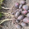 ジャガイモ(グランドペチカ、はるか、メークイン)の収穫
