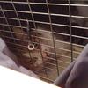 2016 9月 のら猫手術。 こむたん、事件だよ