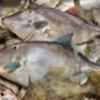 鯛のアラ・・捨てられるものに価値を見出す時代になった
