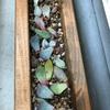 多肉植物 葉挿しに挑戦!!我が家のポイポイエリア