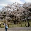 満開の根尾薄墨桜
