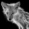 PORTRAIT KITA-KITUNE (Ezo red fox) - monochrome #0802