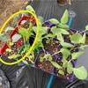 ブロッコリーの植え付けとインゲンの発芽