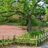 桜蘂(さくらしべ)の弘前公園