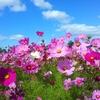 9月14日は「コスモスの日」~秋桜のcoverはこんなにあるんだね(*´▽`*)~